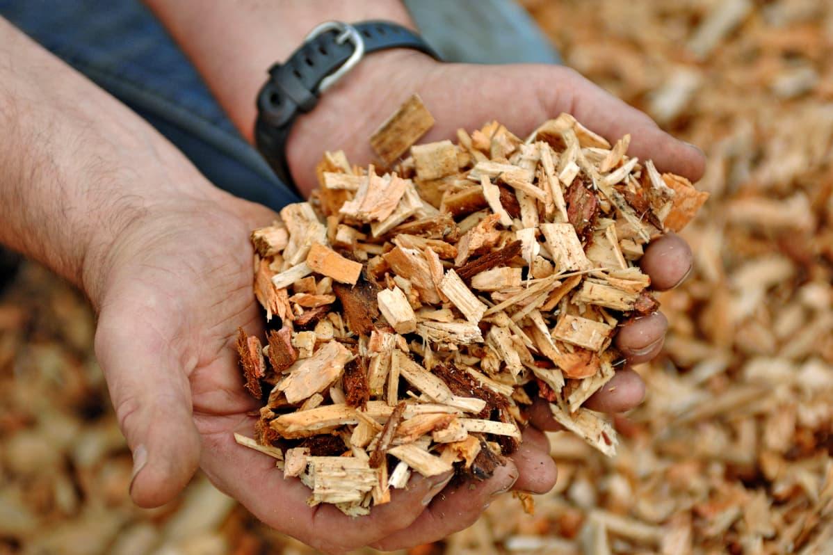 Mies pitelee puusta tehtyä hakekasaa käsissään.