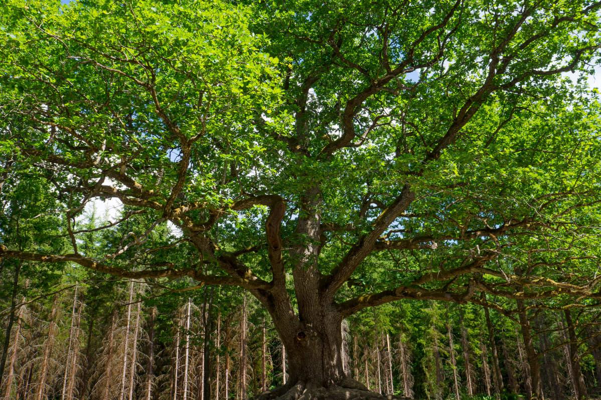 Suomen ihastuttavin puu -finalisti, Paavolan tammi.
