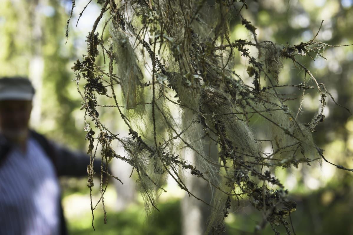 Naavaa puissa Tammisaaren saaristossa Raaseporissa.