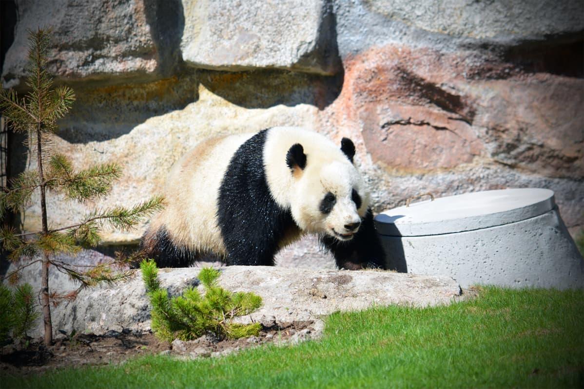 Pyry-panda Ähtärin eläinpuistossa.