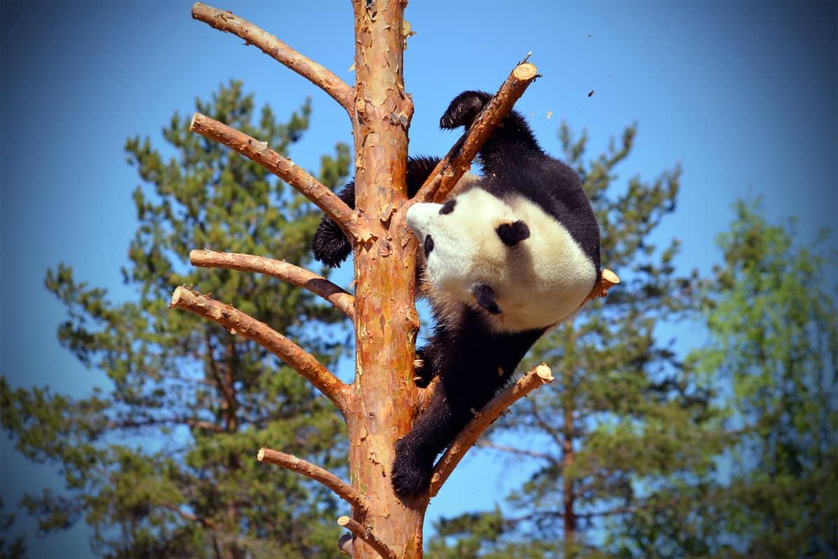 Pyry kiiparoi mielellään puussa ja muutenkin sen leikit ovat rajumpia kuin Lumin.