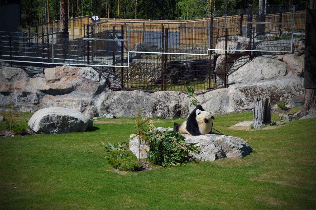 """""""Pandat on rauhaa rakastavia, ehkä ihmiset myös pystyy samaistumaan niihin, kun ne tykkää loikoilla, nauttia elämästä ja hyvästä ruuasta"""", Anna Palmroth sanoo."""