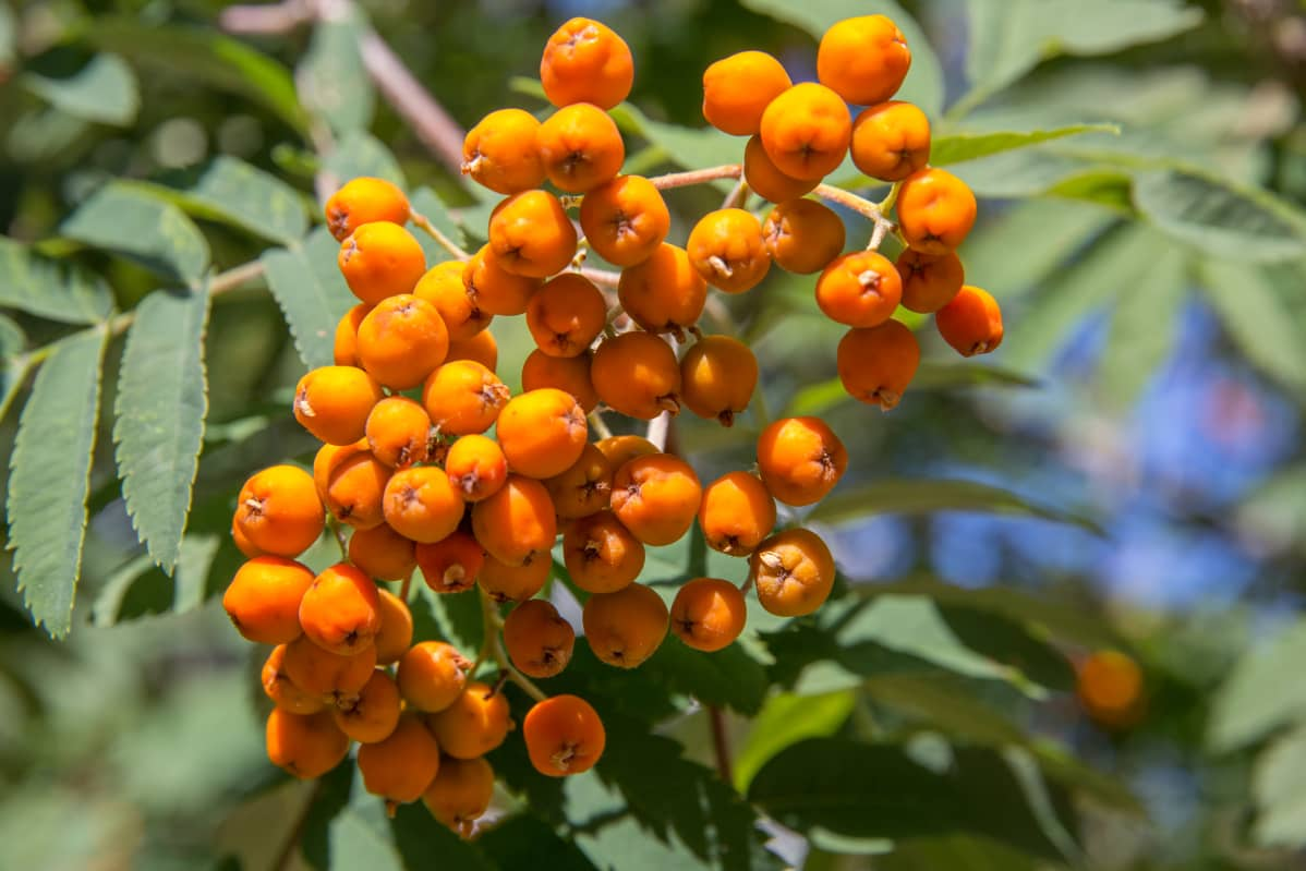 Oransseja pihlajanmarjoja.