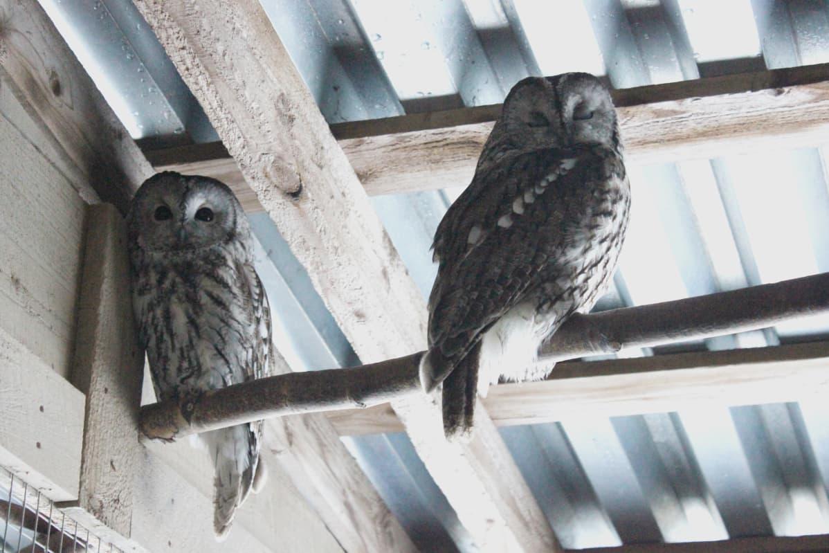 Lehtopöllöjä Pyhtään lintuhoitolassa.
