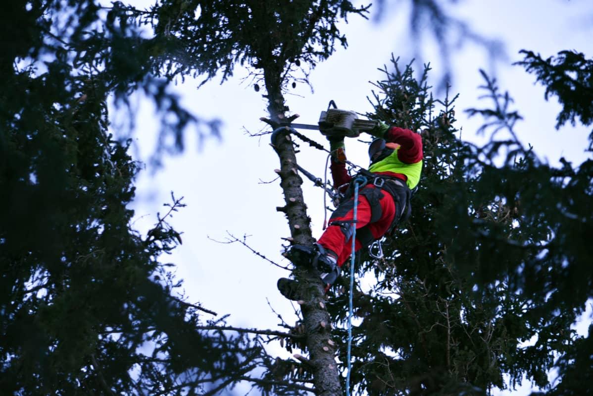 Kim Sorvari kiipeää puuhun sahaamaan oksia