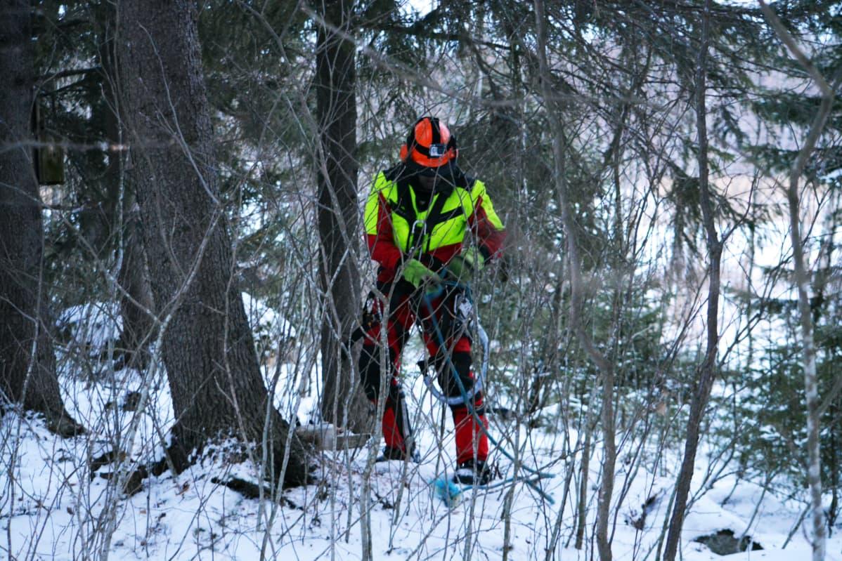 Kim Sorvari tarkastaa varusteiden kuntoa, ennen kuin aloittaa kiipeämään jäistä puunrunkoa pitkin.