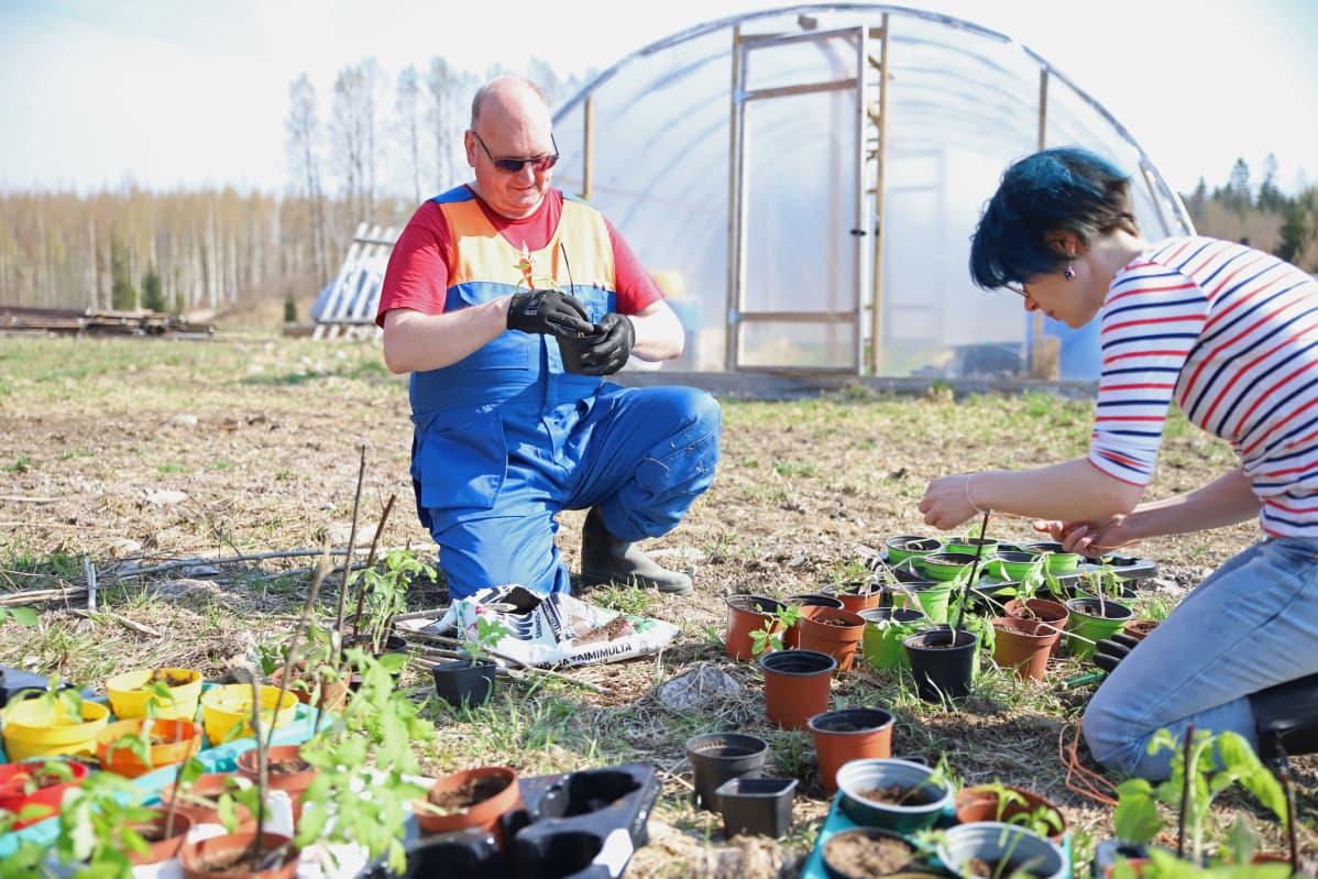 Timo Huttunen ja ohjaaja Marianna Kavasto työstävät tomaatin ja chilin taimia.