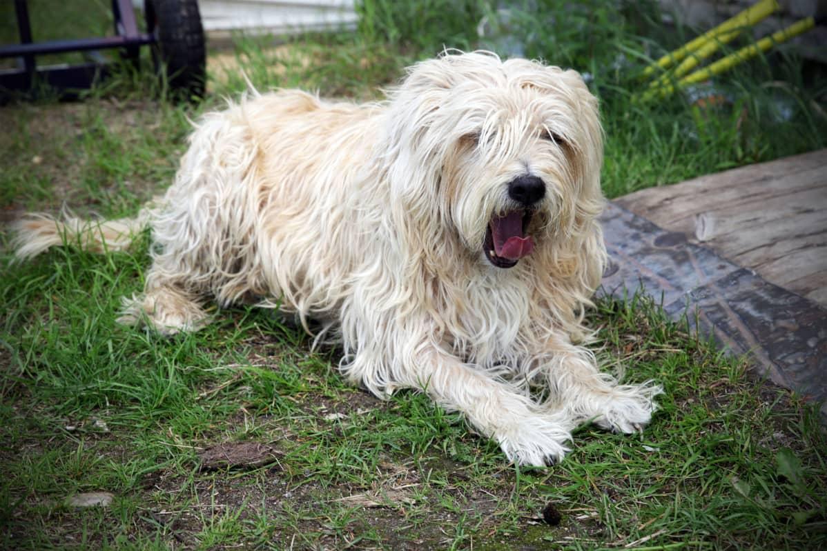 10-vuotias RSPCA:lta pelastettu Timmy-koira tottelee käskyjä ainakin toistaiseksi vain englanniksi.
