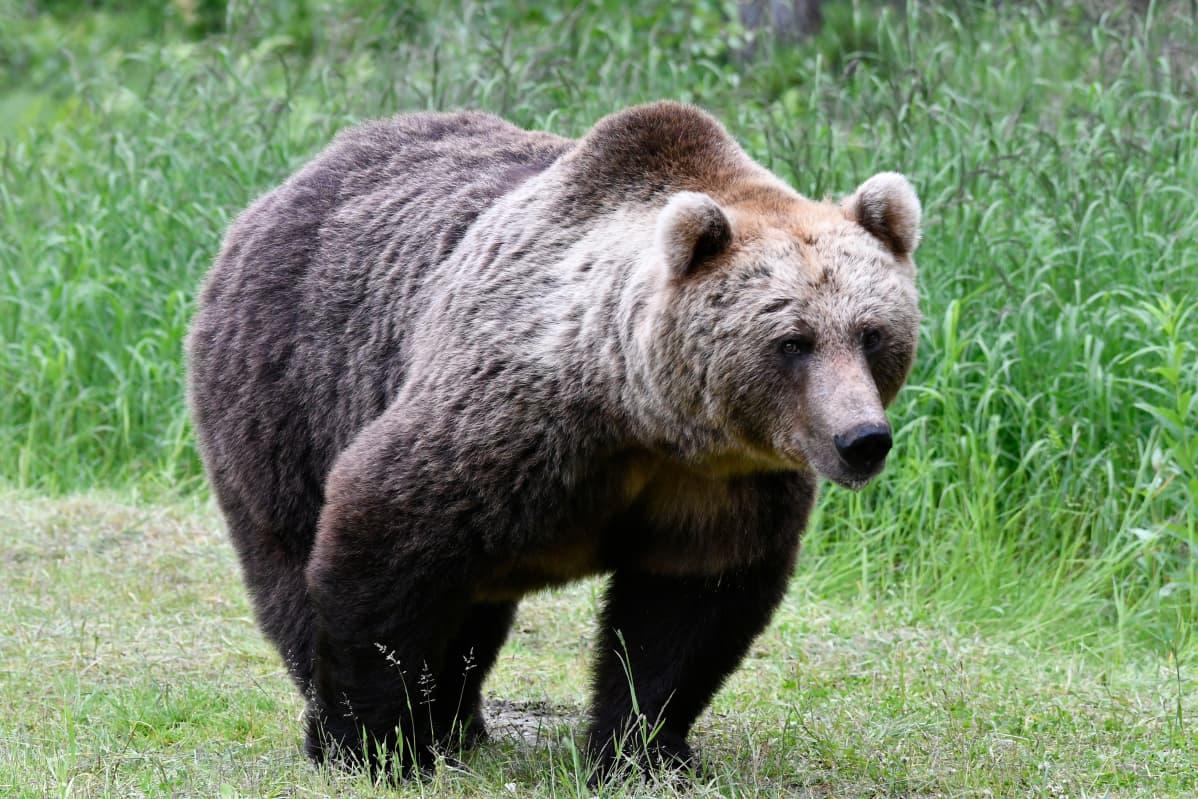 Karhu metsässä.