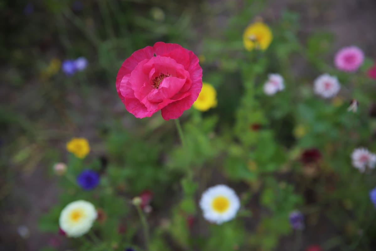 Kukka kukkapellolla.