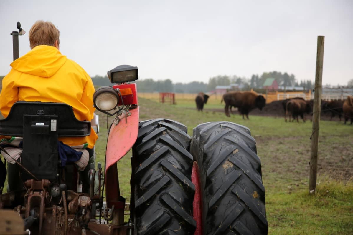 Biisonilaitumelle on turvallisinta mennä traktorin kyydissä.