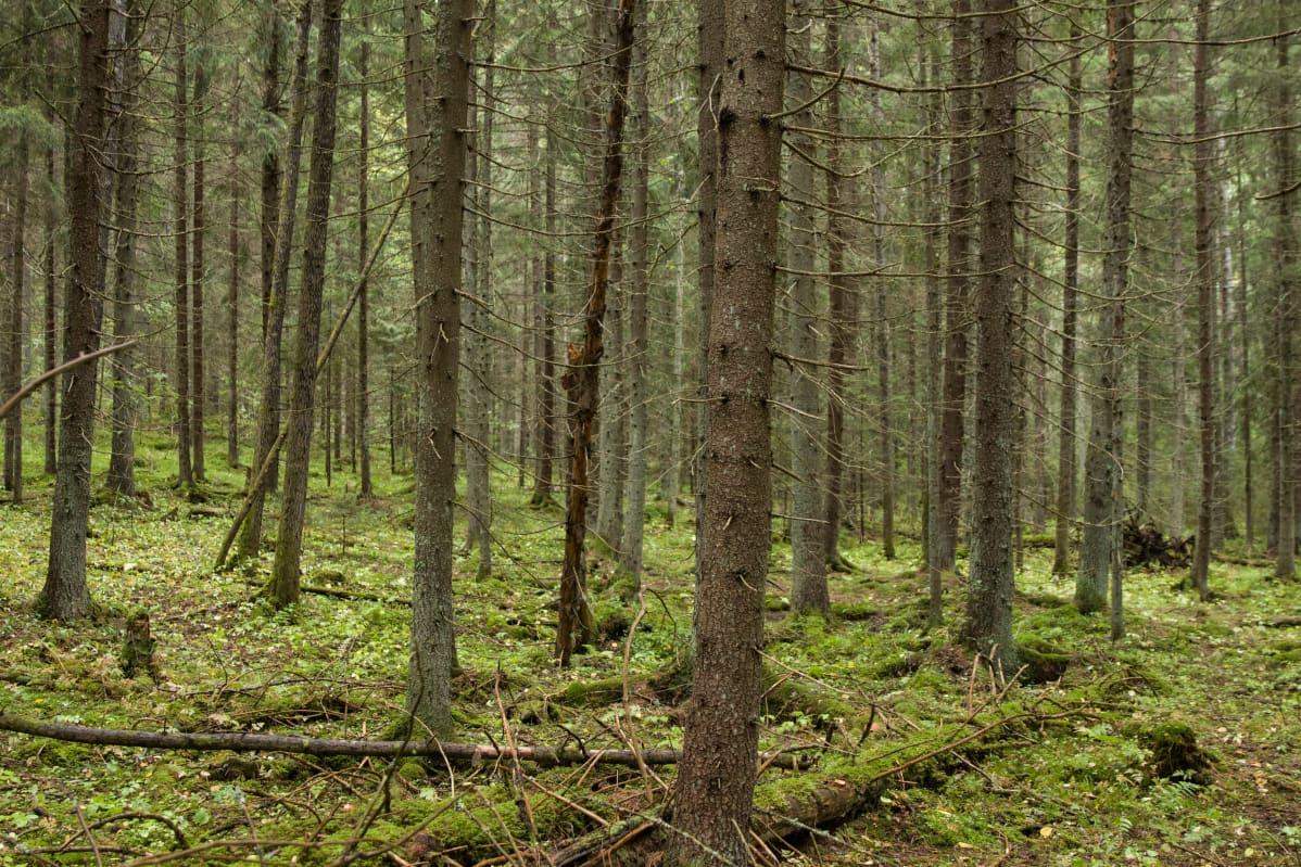 Metsään uppoamisen menetelmässä voi päästä rentoutuneeseen, mutta tiedostavaan olotilaan