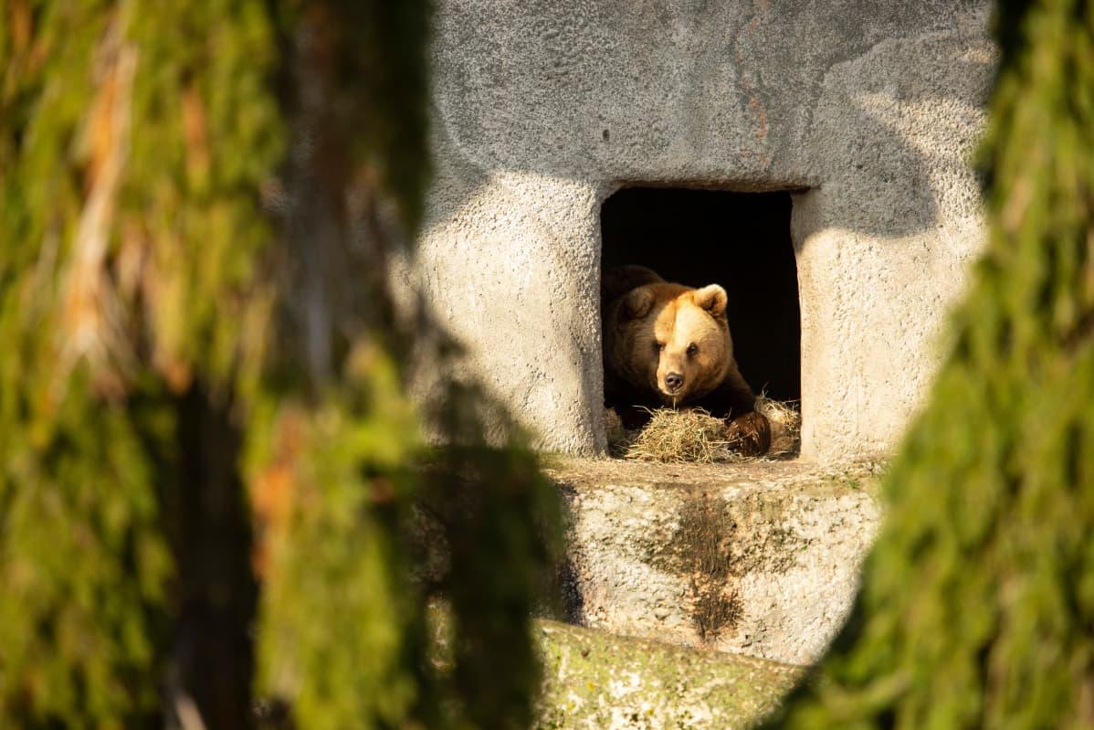 Korkeasaaren karhut kävivät talviunille kuukauden myöhässä