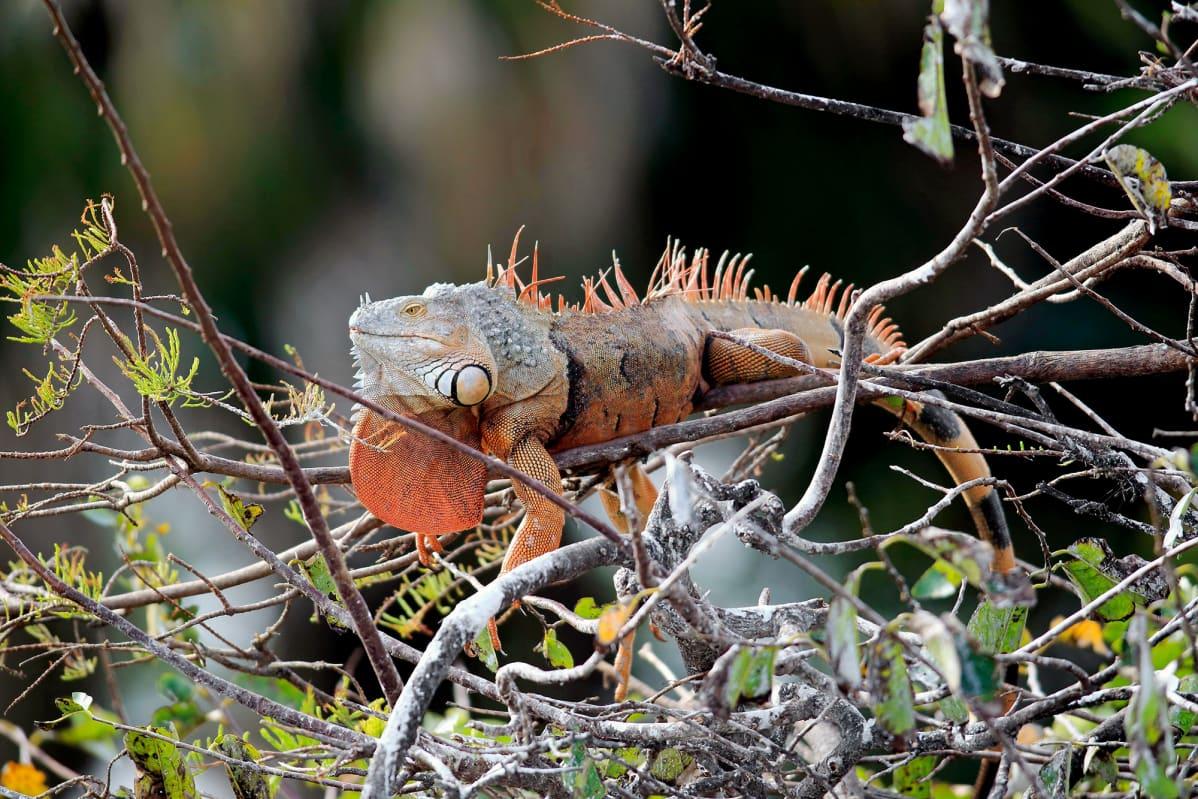 Iguana makaa puun oksalla Floridassa.