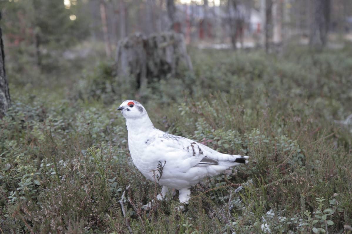 Talvipukuinen pyyriekko kesämetsässä. Riekon kesäpuku vaihtuu Sodankylässä talvipuvuksi viimeistään marraskuun alussa. Viime vuosina on ollut erityisen pitkiä lumettomia syksyjä. Silloin linnut ovat valkoisena mustalla maalla useita viikkoja pedoille alttiina.