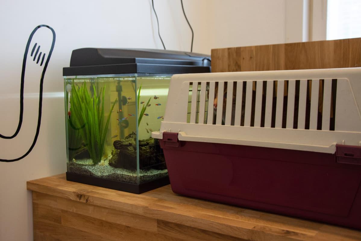Eläinklinikka Saaren odotushuoneessa Vaasassa kissat saavat katsella akvaariokaloja odotellessaan vastaanottovuoroaan.