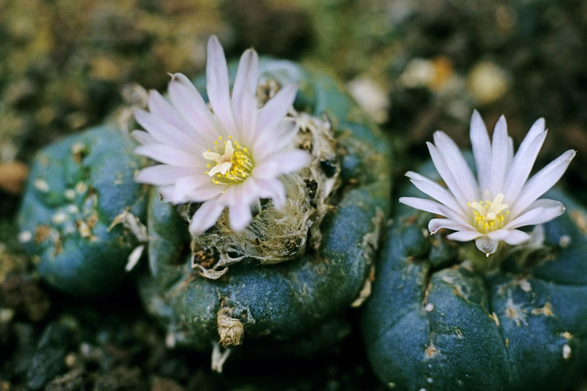 Kuvassa on peyote-kaktus.