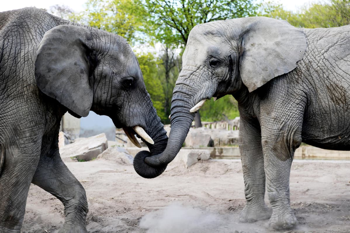 Kuvassa norsuja.