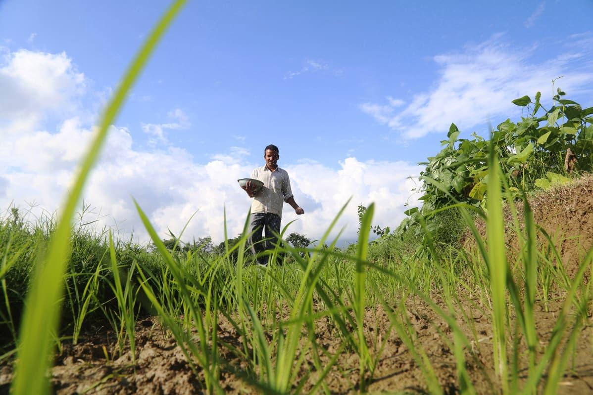 Kuvassa intialainen mies heittelee lannoitetta pellolleen.