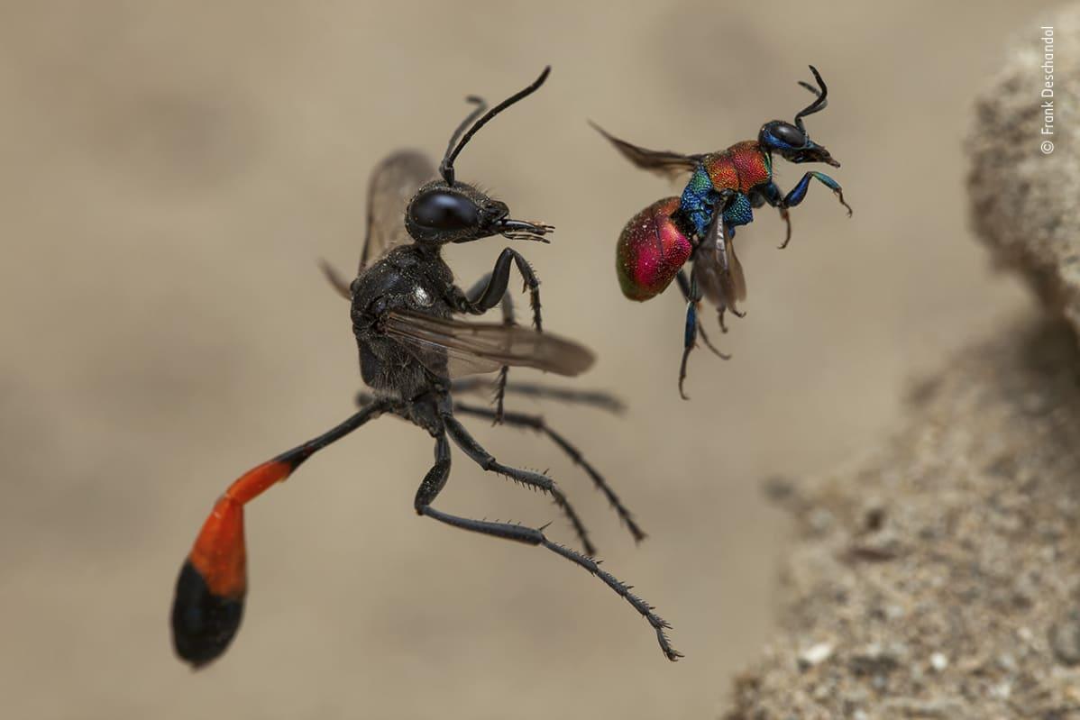 Kaksi erilaista ampiaista lentämässä pesään.