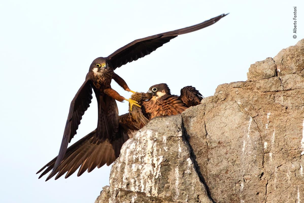 Iso lintu syöttää poikasia.