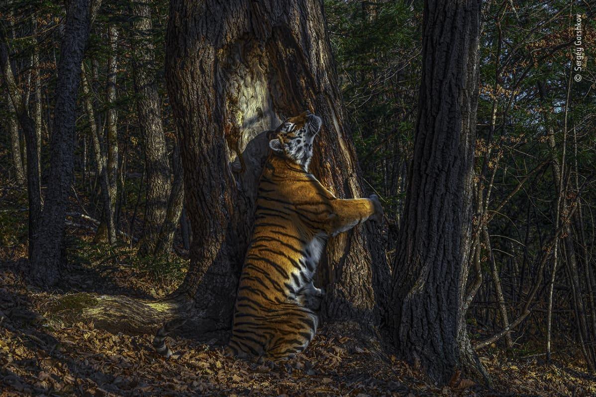 Tiikeri halaa puuta.