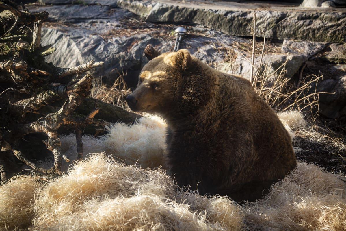 Karhu puukuivikkeen seassa.