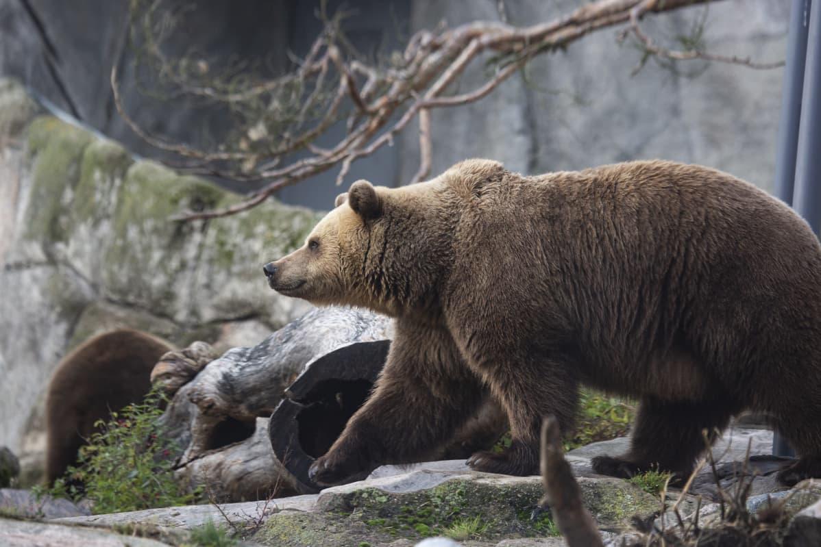 Karhu kävelee eläintarhassa.