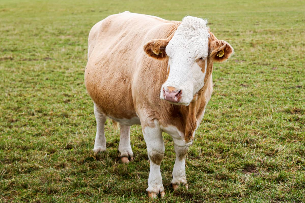 Lehmä laitumellla.