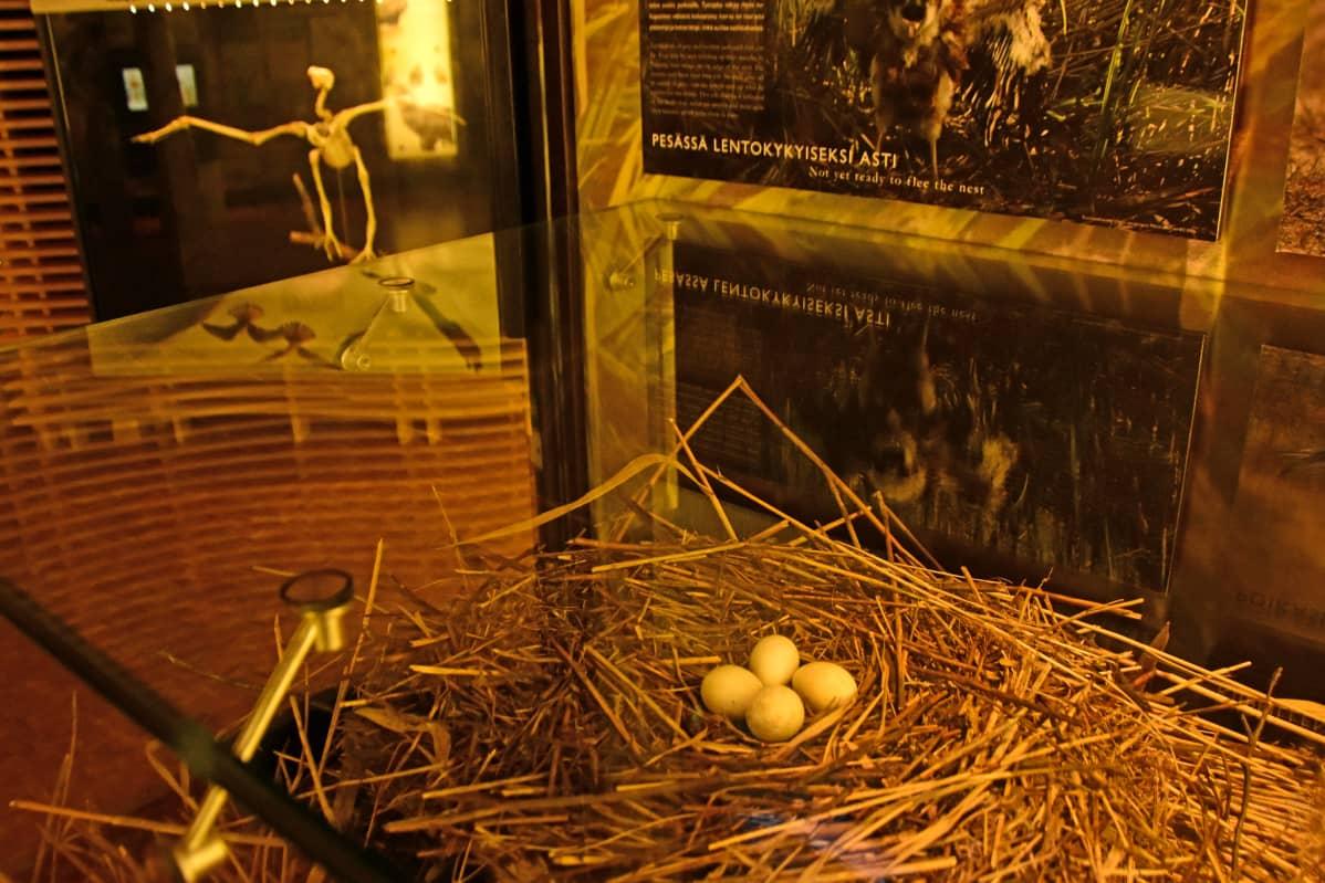 Linnunpesän näyttelykuva Liminganlahden luontokeskuksessa.