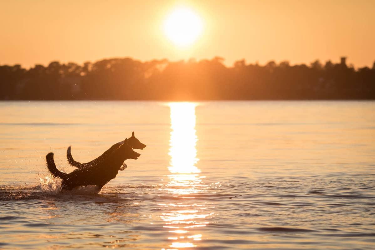 Tanjan koirat auringonlaskussa.