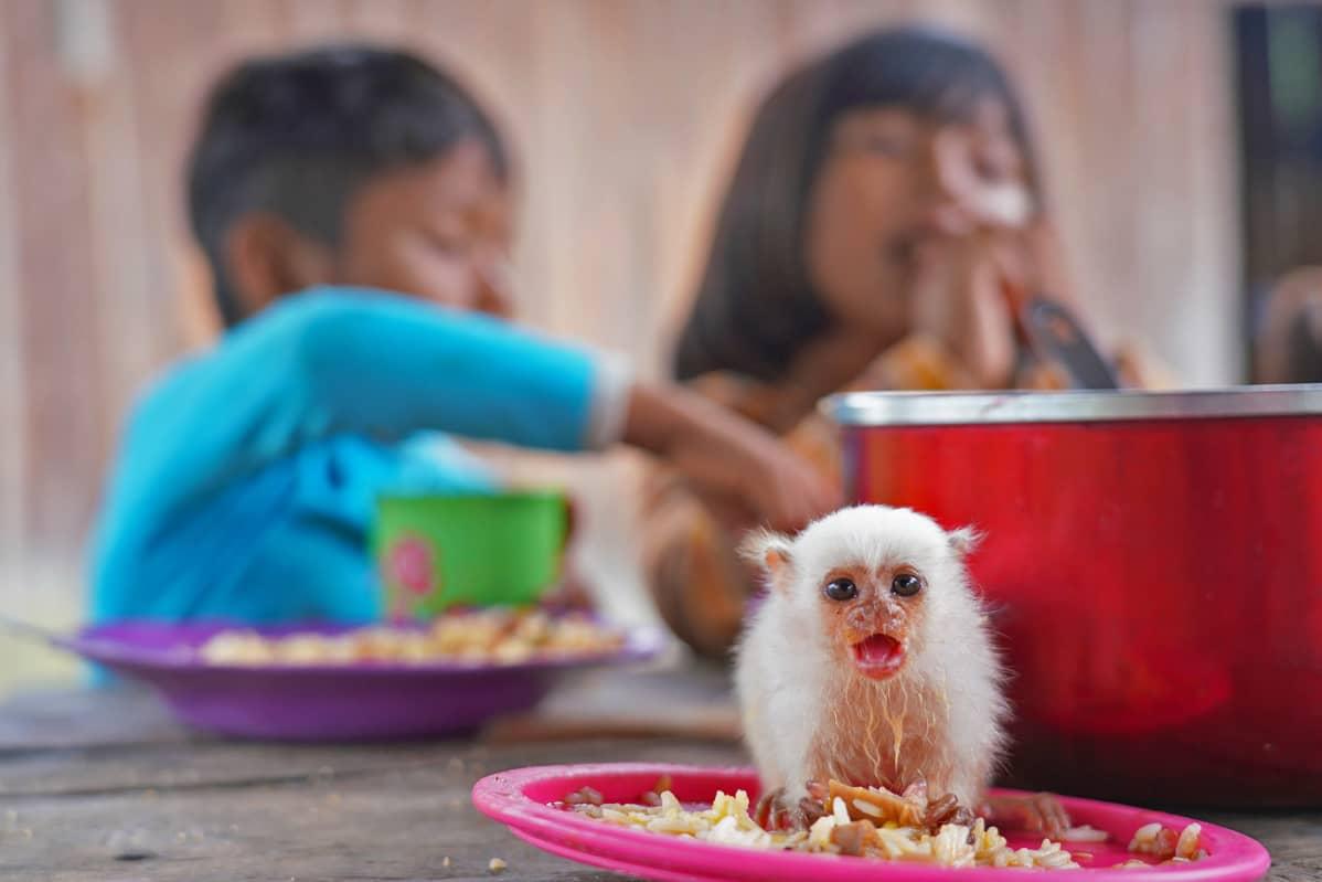 Munduruku-perheen lemmikkinä on hopeamarmosetti, jolle on katettu ruokapöytään oma lautainen.
