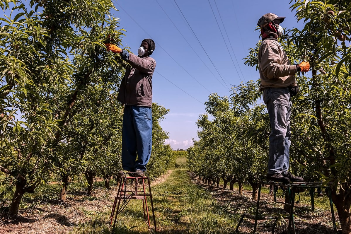 Jakkaroilla seisovat siirtotyöläiset pudottavat persikanraakileita puista.