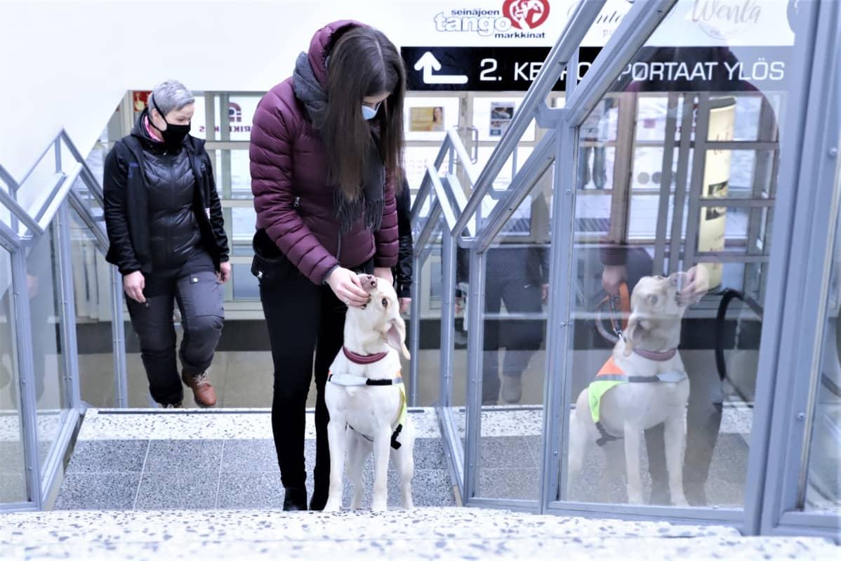 Opaskoiraksi kasvavan Sulka-labradorinnoutajan koulutukseen kuuluu muun muassa julkisissa tiloissa liikkumista. Tässä ollaan Torikeskuksessa Seinäjoella.