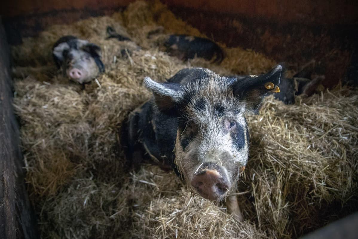 Linderöd-sikoja karsinassa
