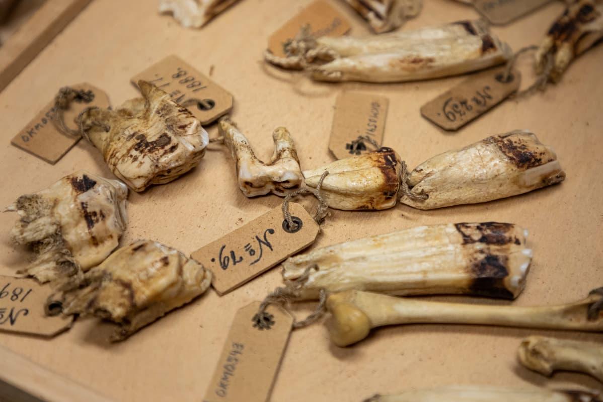 vanhoja hevosen hampaita laatikossa