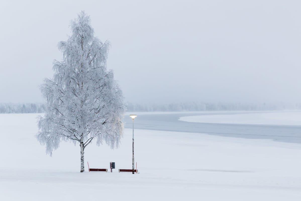 Huurteinen koivu ja penkki, taustalla keskeltä sula Kemijoki.