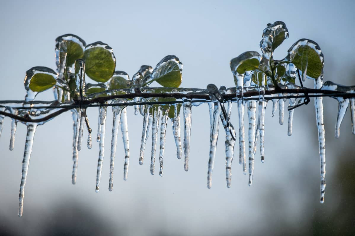 Kiivisatoa suojeltiin Châteauneuf-sur-Isèressä suihkuttamalla vettä silmujen päälle. Jääkerros suojaa kasvia pakkaslukemilta.