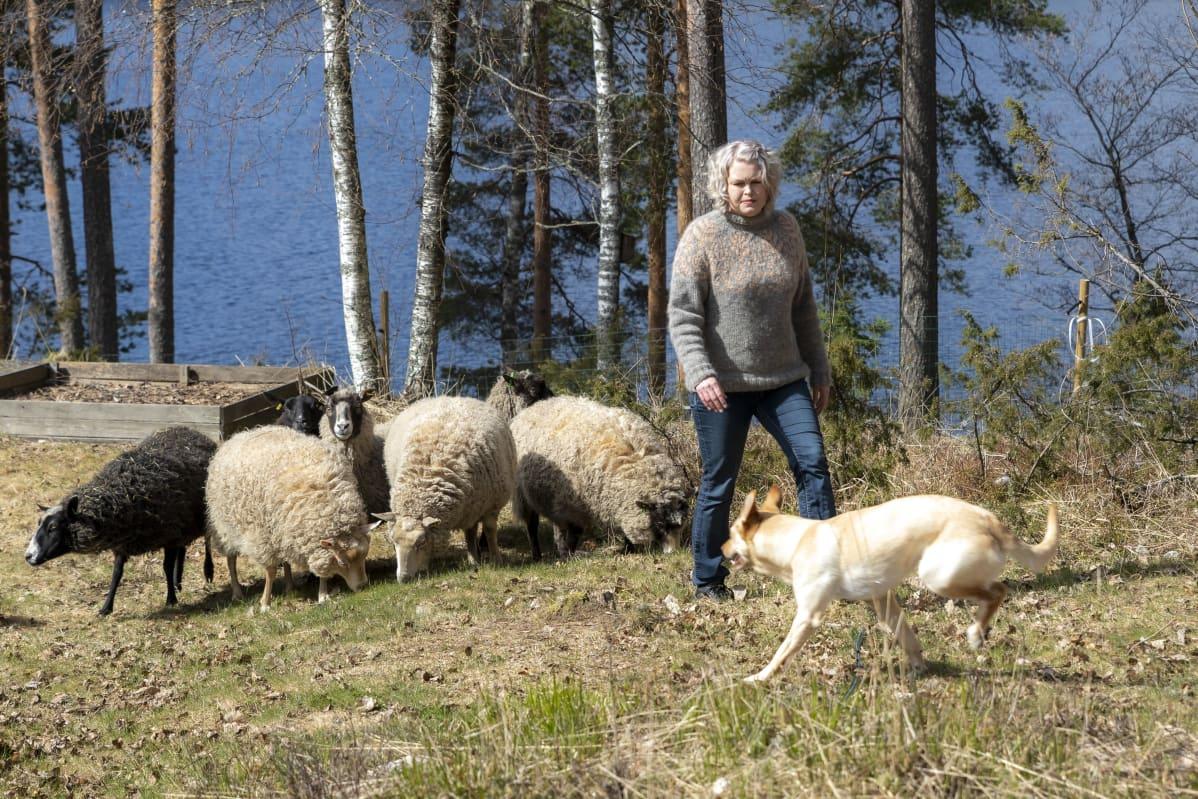 Suvi Heinola pihassaan lampaiden kanssa, lammaskoira pitää lauman kasassa