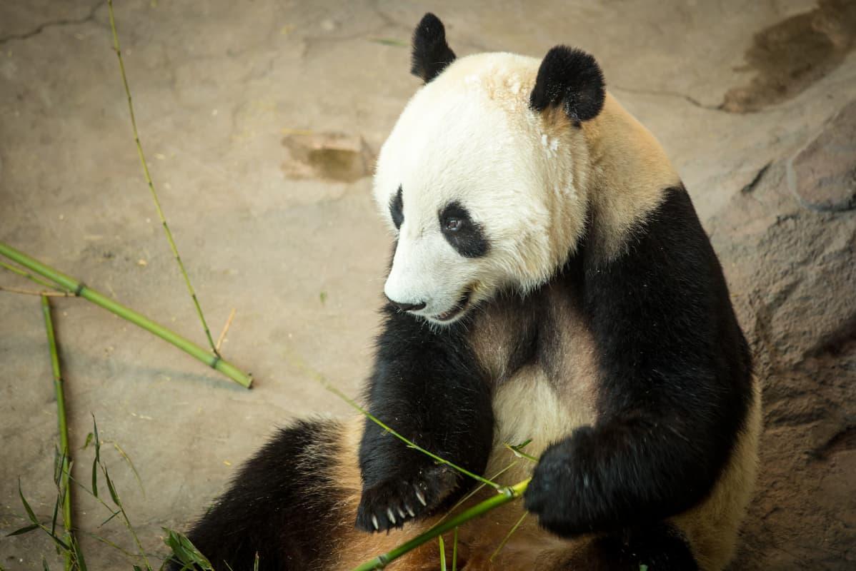 Hua Bao, eli Pyry. Ähtärin panda