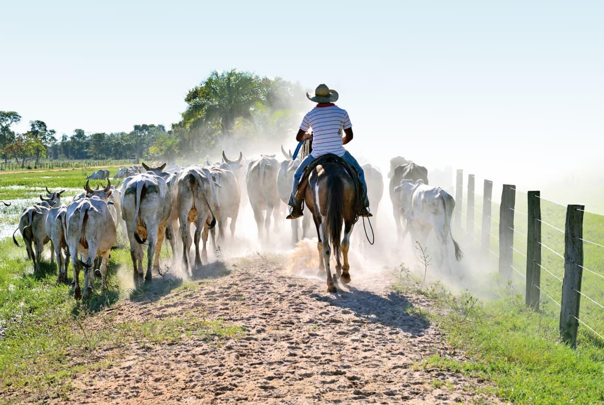 Brasilialainen karjapaimen.