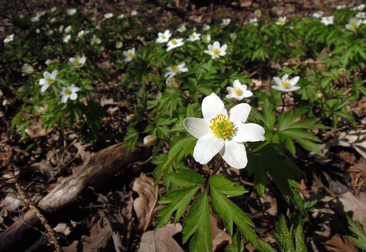 Valkovuokot kukkivat mättäänä Vantaalla keväisessä lämmössä pääsiäispäivänä 20. huhtikuuta.