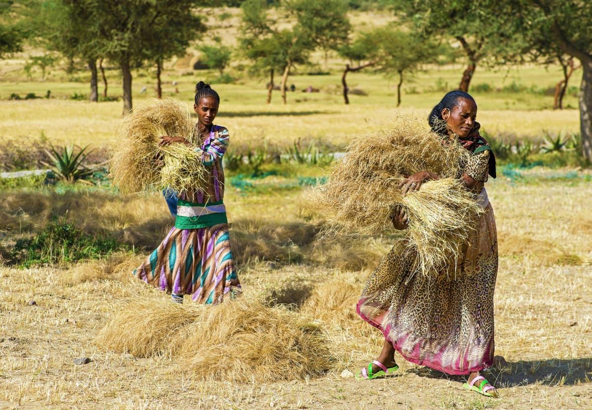 Teff-satoa korjataan Etiopiassa.