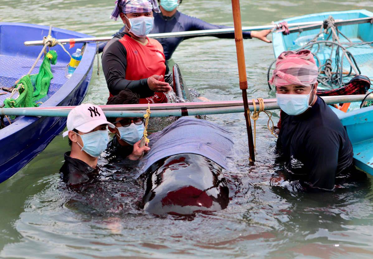 Meribiologien pelastusyrityksistä huolimatta muovipusseja syönyt pallopäävalas kuoli.