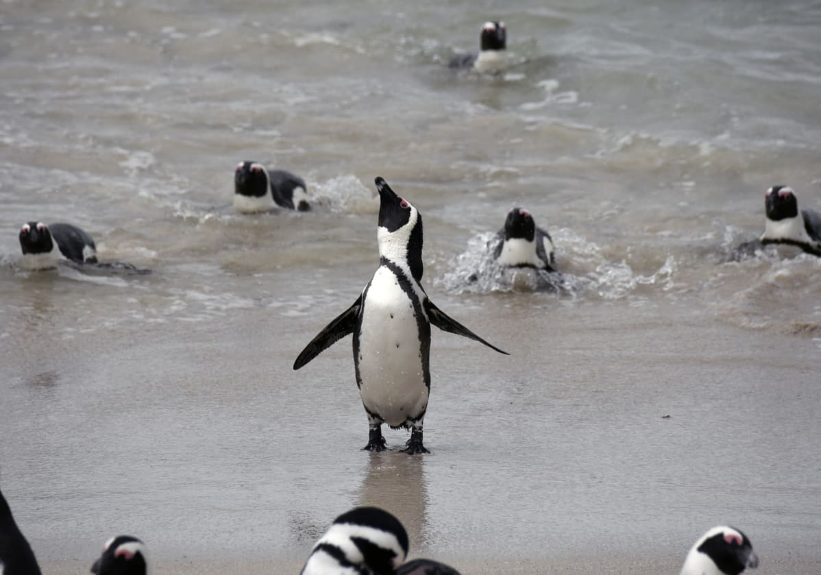 Afrikanpingviini.
