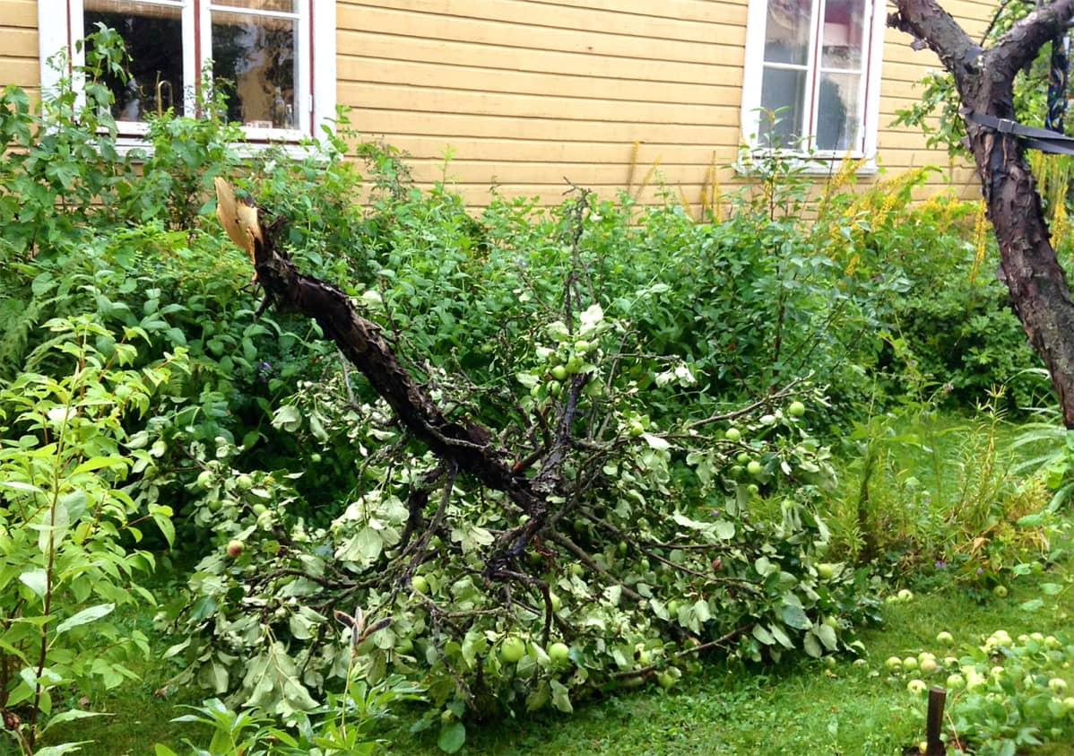 Ukkosmyräkässä katkennut omenapuunoksa