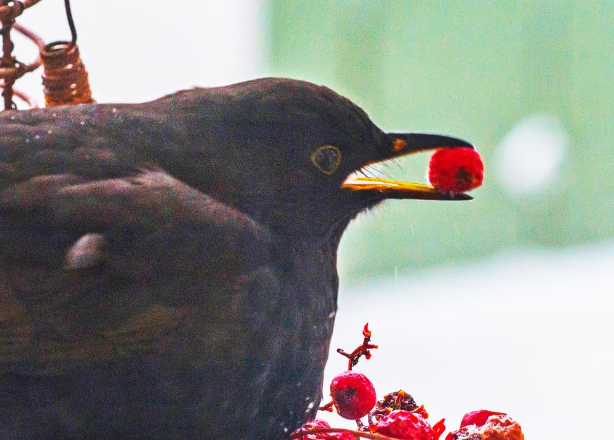 Monille linnuille pihjlajanmarjat ovat tärkeä ravinnonlähde. Kuvassa nuori mustarastas herkuttelemassa.