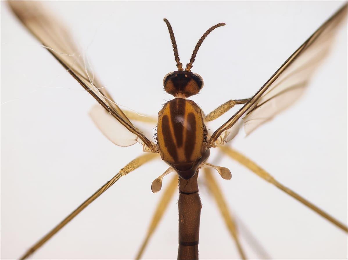 """Tuomas Holopaisen mukaan nimetty sääski """"Sciophila holopaineni""""."""