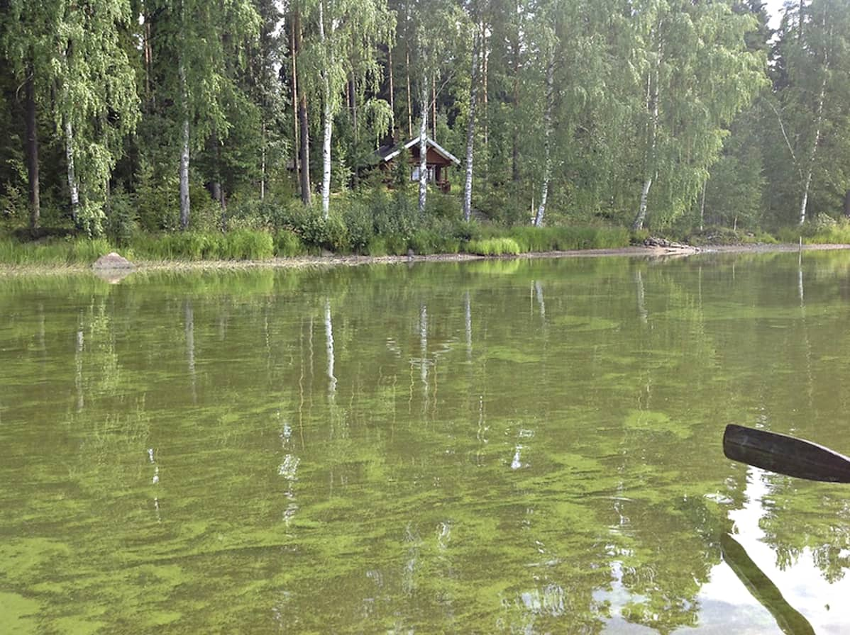 Sinilevää Parkanon Kuivasjärvessä kesällä 2013