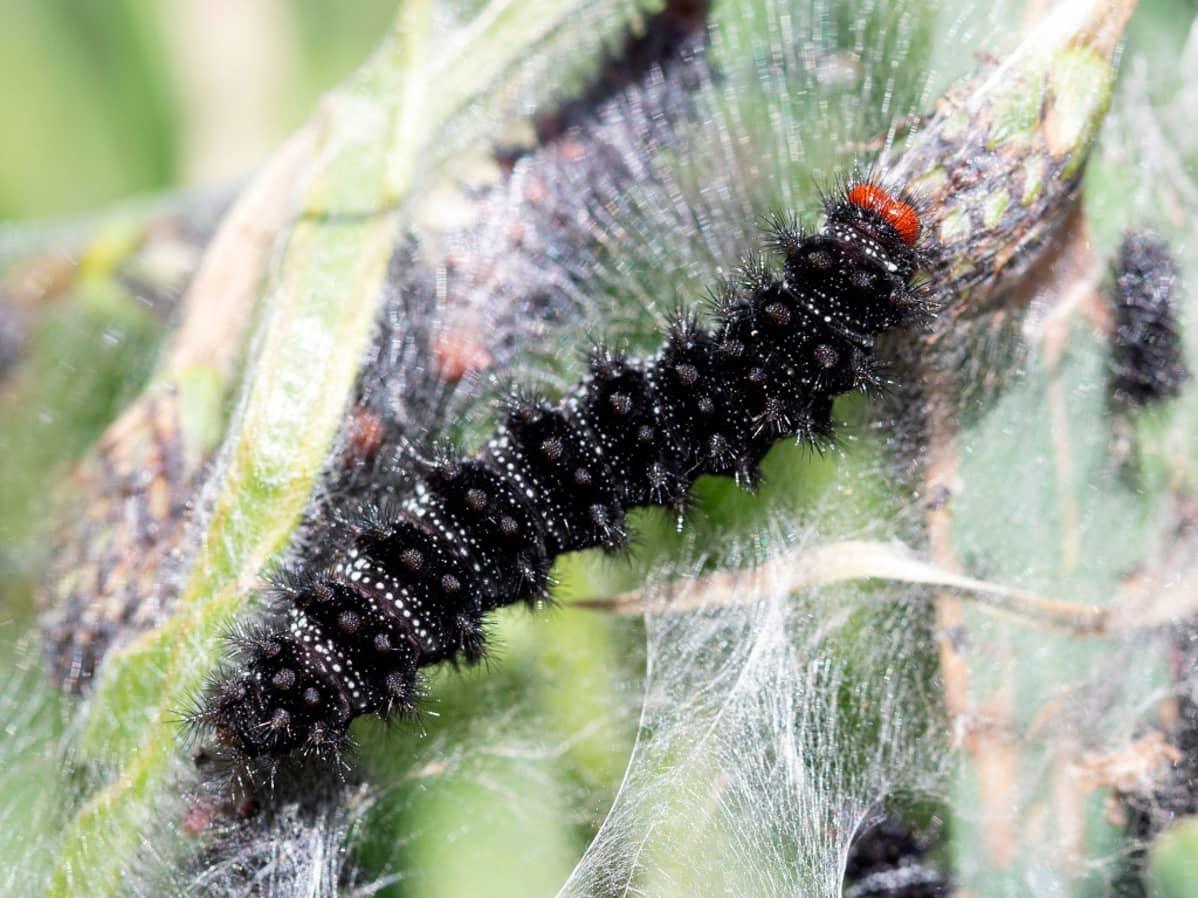 Musta toukka, jolla on isot punaiset silmät silkkisen langan ympäröimänä lehdellä.